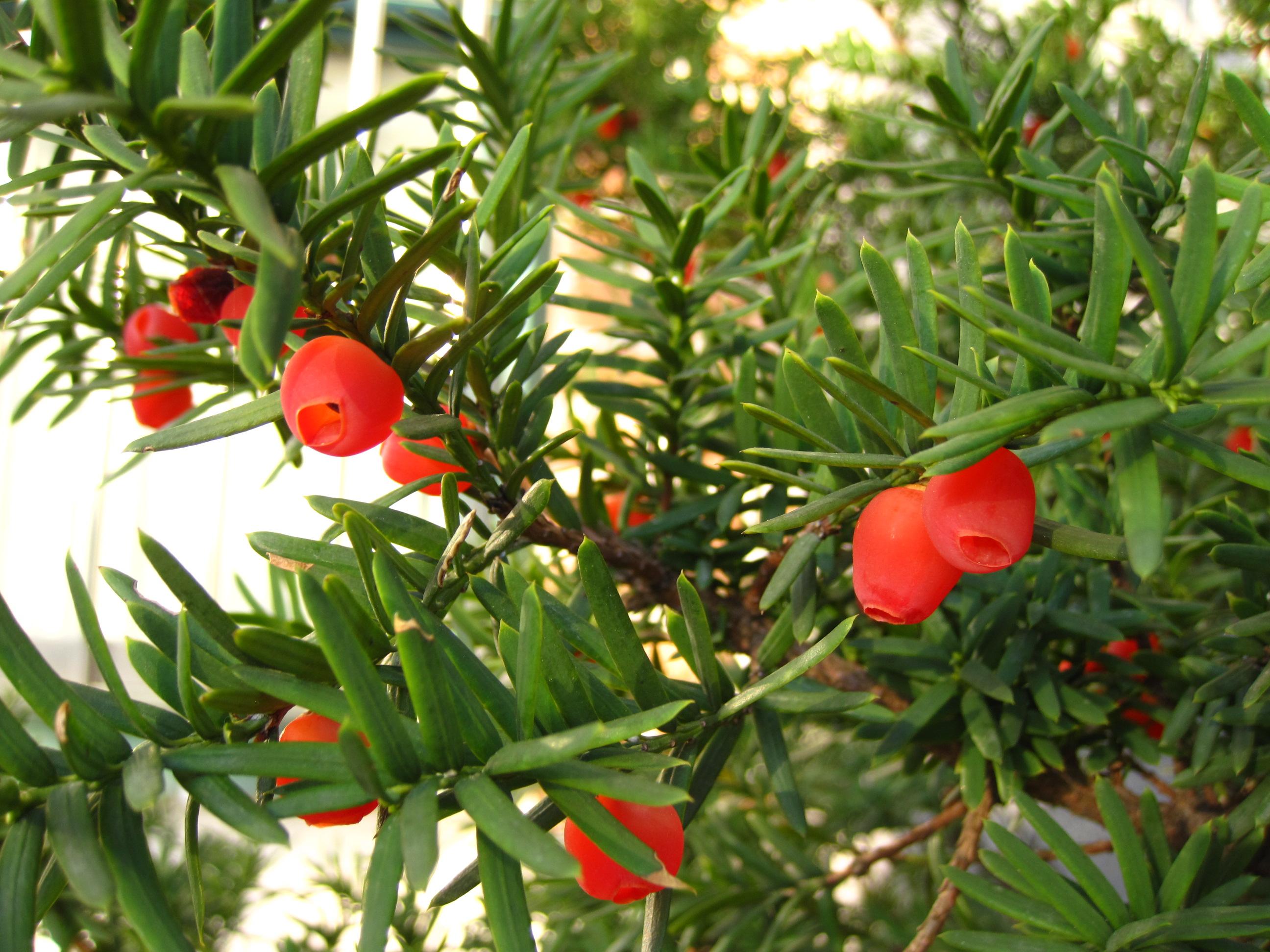 Tinh dầu thông đỏ được triết xuất từ Cây Thông Đỏ